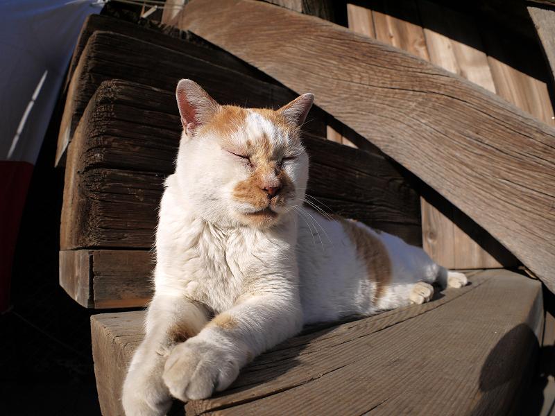 階段の端に座ってる白茶猫1