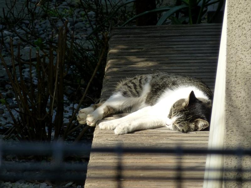 縁側で寝ている白キジ猫1
