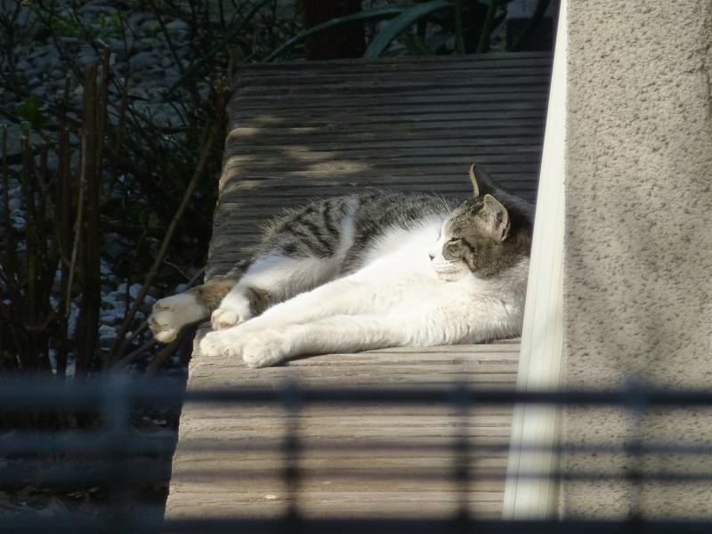 縁側で寝ている白キジ猫2