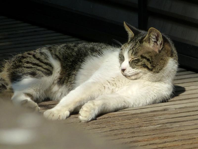 縁側で寝ている白キジ猫3