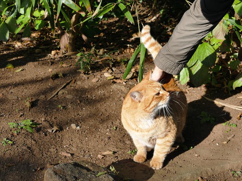 背中を触られてる茶白猫1