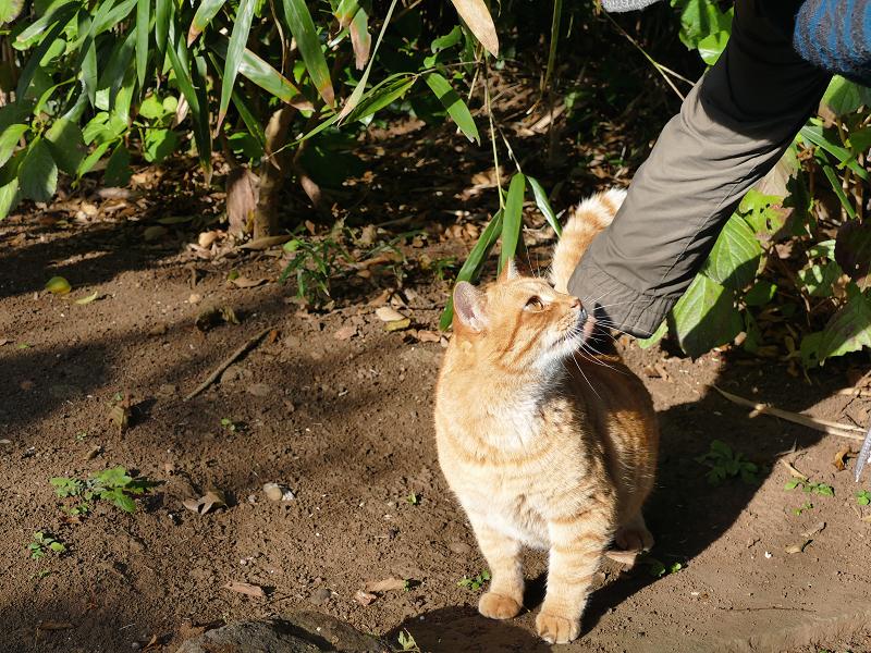 背中を触られてる茶白猫2
