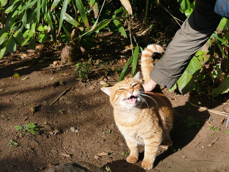 背中を触られてる茶白猫3