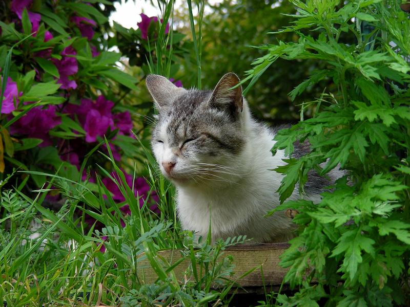 草むら茂みの白キジ猫1