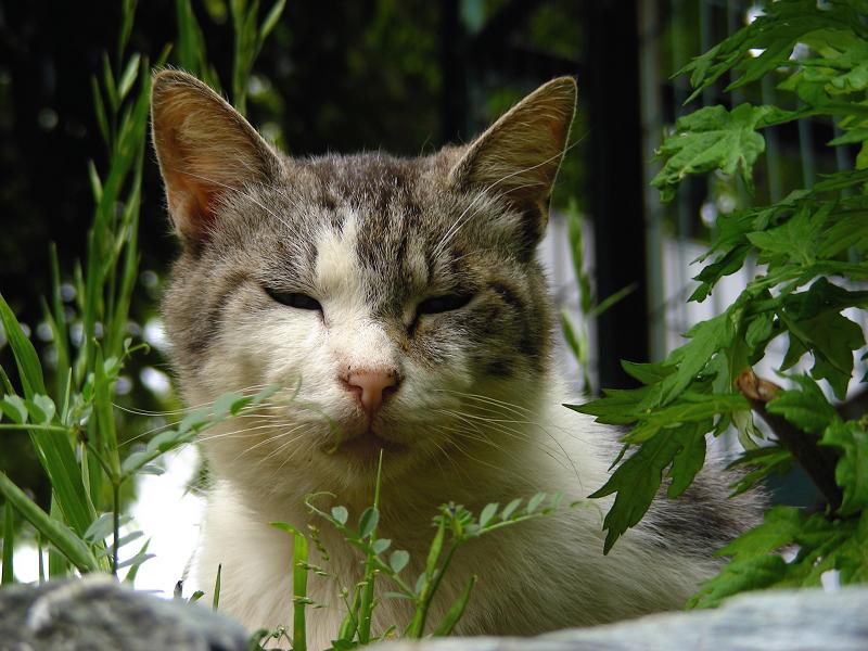 草むら茂みの白キジ猫2