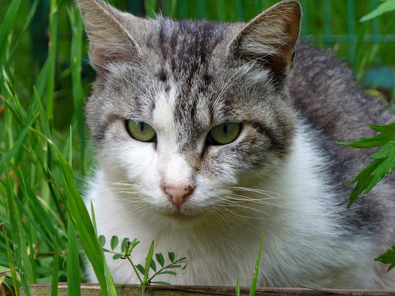 草むら茂みの白キジ猫3