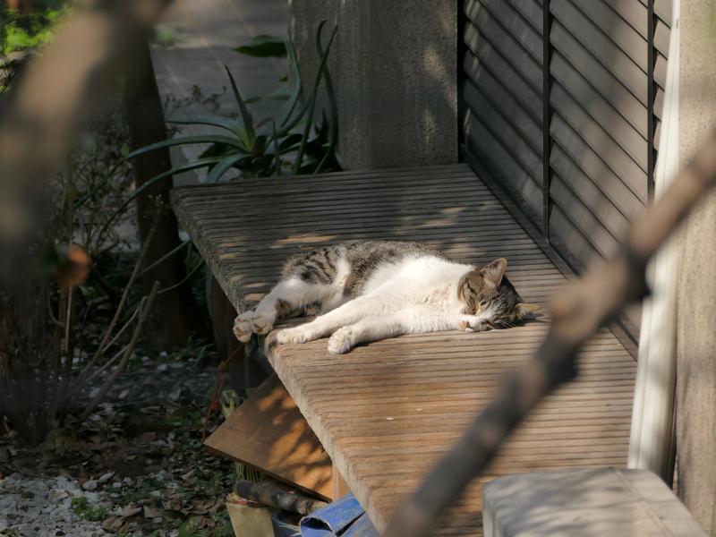 縁側で熟睡してるキジ白猫1