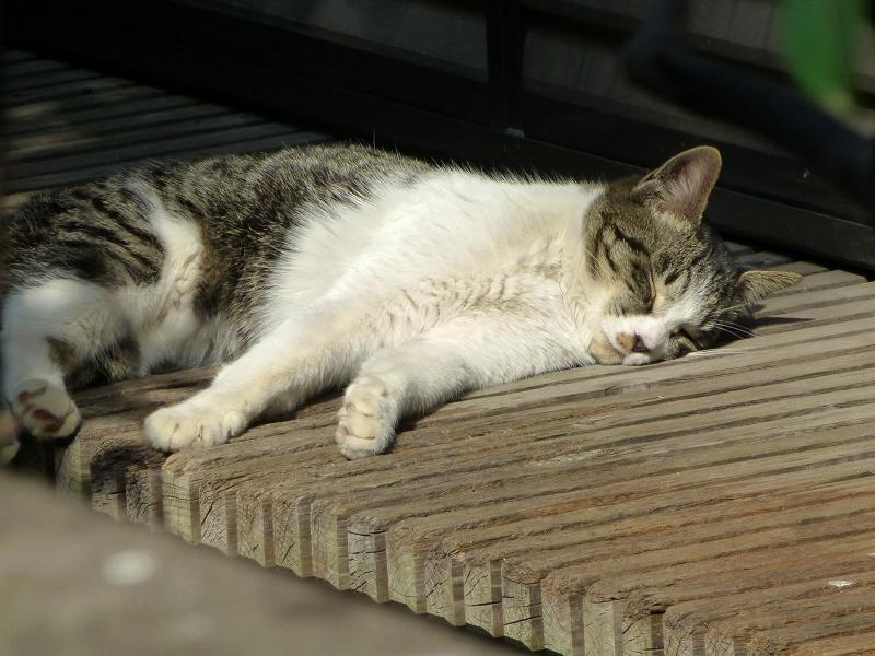 縁側で熟睡してるキジ白猫2