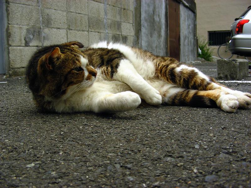 駐車場で転がるキジ白猫1