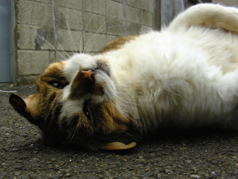 駐車場で転がるキジ白猫3