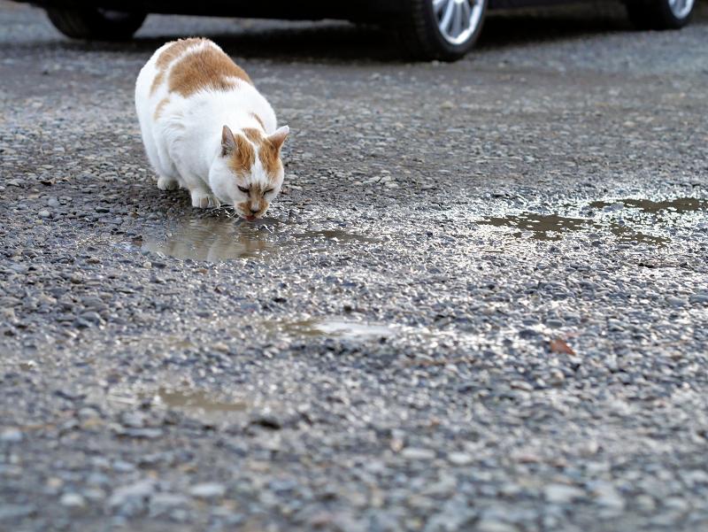 水溜りの水を飲む茶白猫1