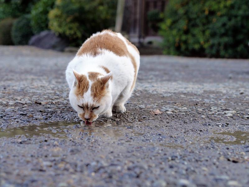 水溜りの水を飲む茶白猫2