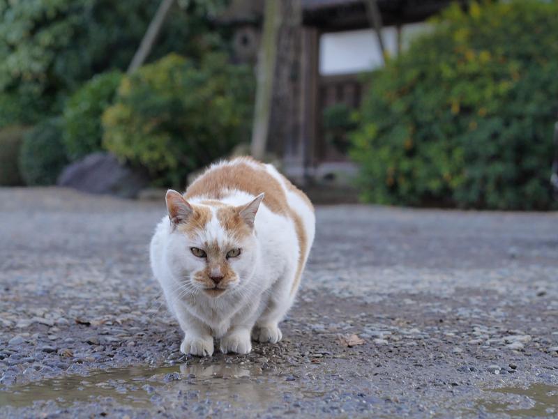 水溜りの水を飲む茶白猫3
