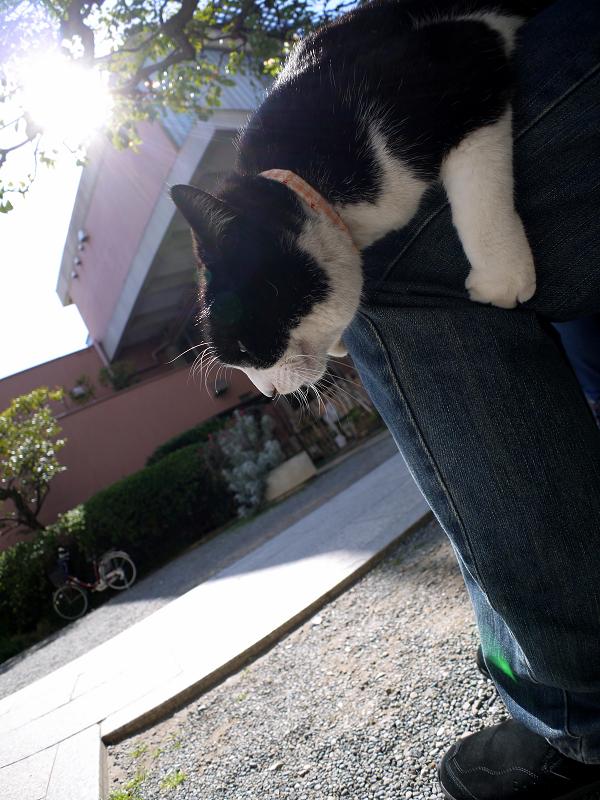 膝で垂れてる黒白猫1