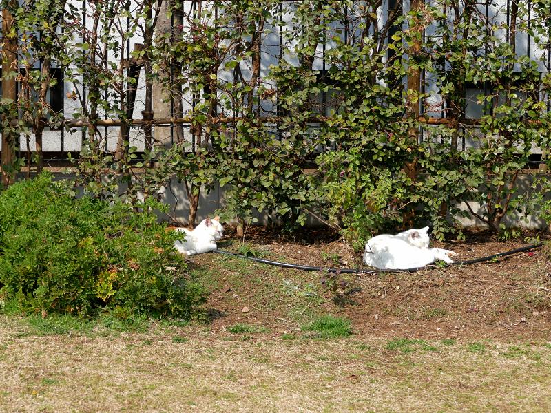 公園の奥で寝てる猫たち1
