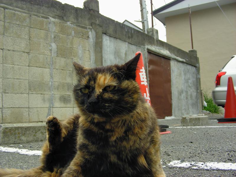 駐車場で毛繕いするサビ柄猫3