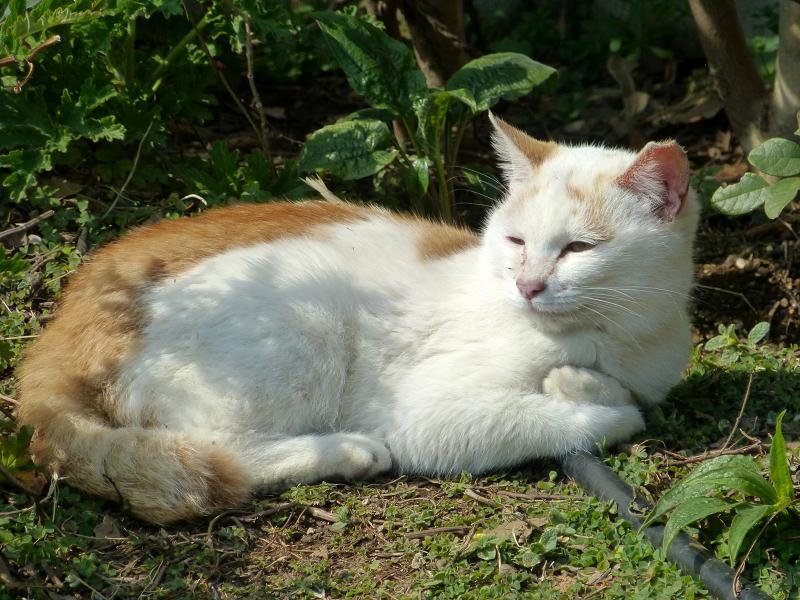 公園の白茶猫2