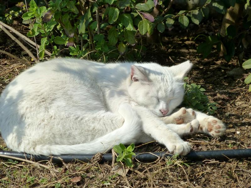 公園の白猫4