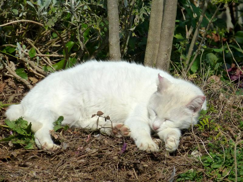 公園の白猫5