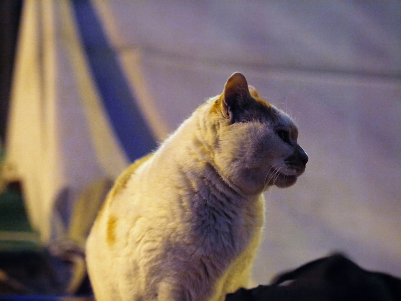 夜のお寺の茶白猫2