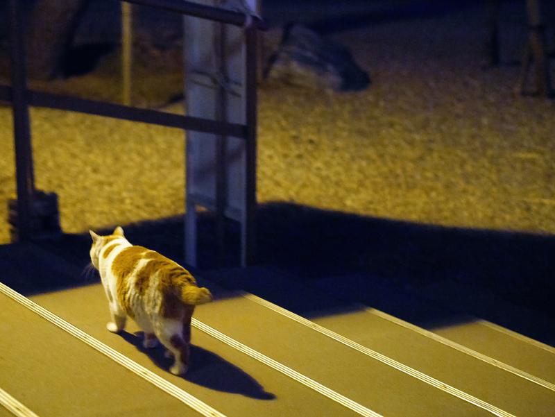 夜のお寺の茶白猫3