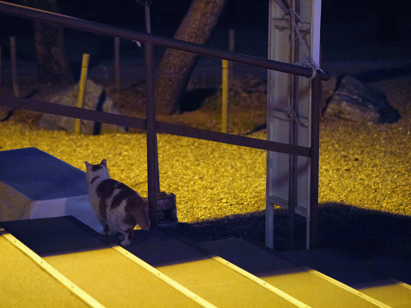 夜のお寺の茶白猫4