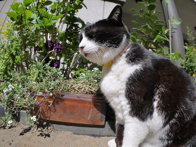 日向でノンビリ黒白猫1