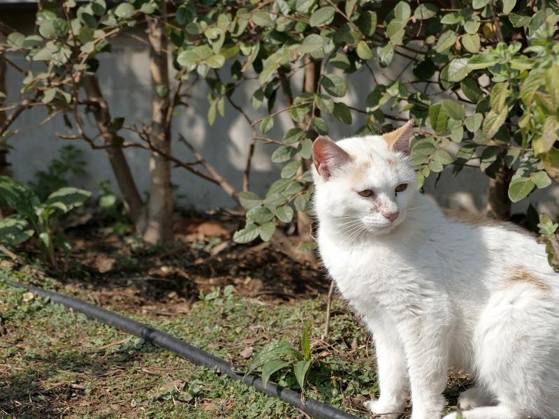 公園のチビ白茶猫1