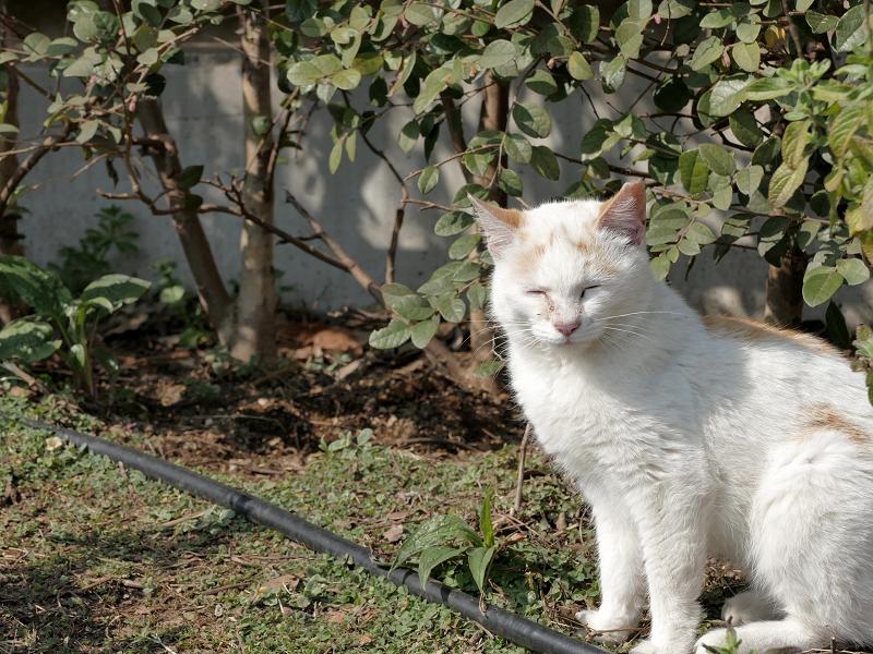 公園のチビ白茶猫2