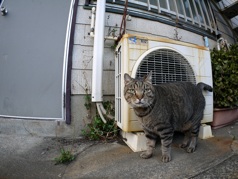 室外機前のキジトラ猫1