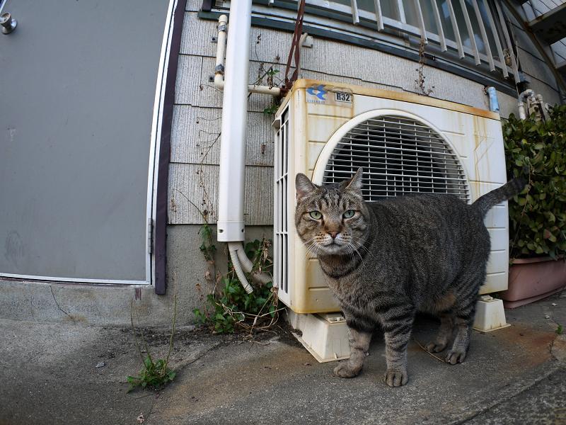 室外機前のキジトラ猫2