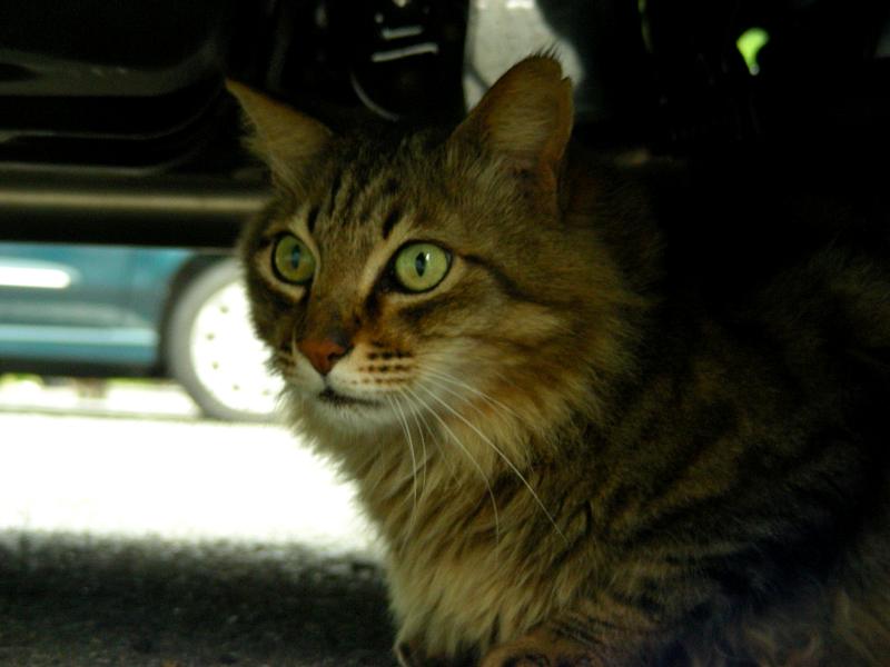 駐車場車の下の気長の猫2