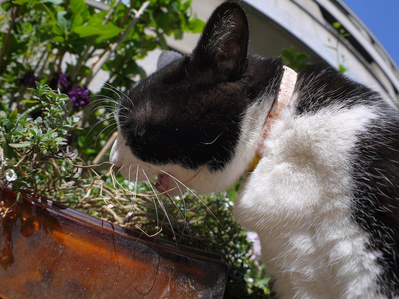 思いっきり草を食べてる黒白猫
