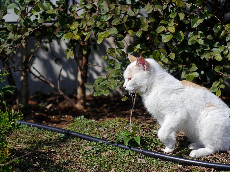 白茶猫の行進1
