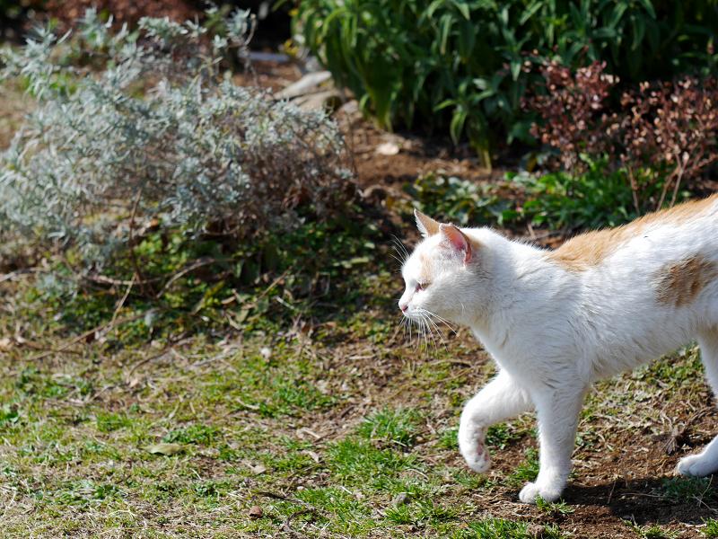 白茶猫の行進2