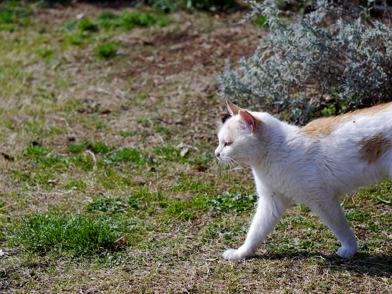白茶猫の行進3