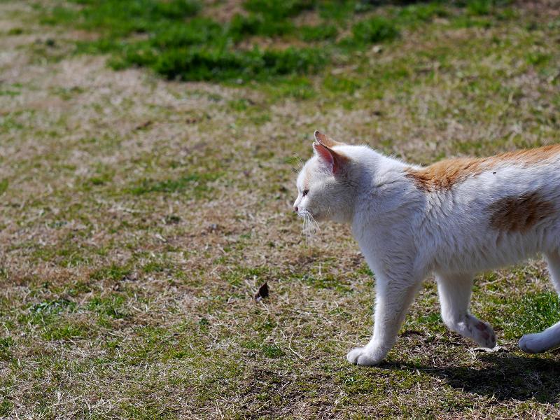 白茶猫の行進4