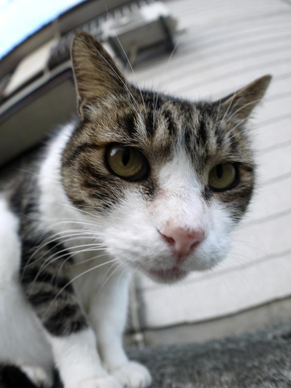 カメラを覗き込むキジ白猫2