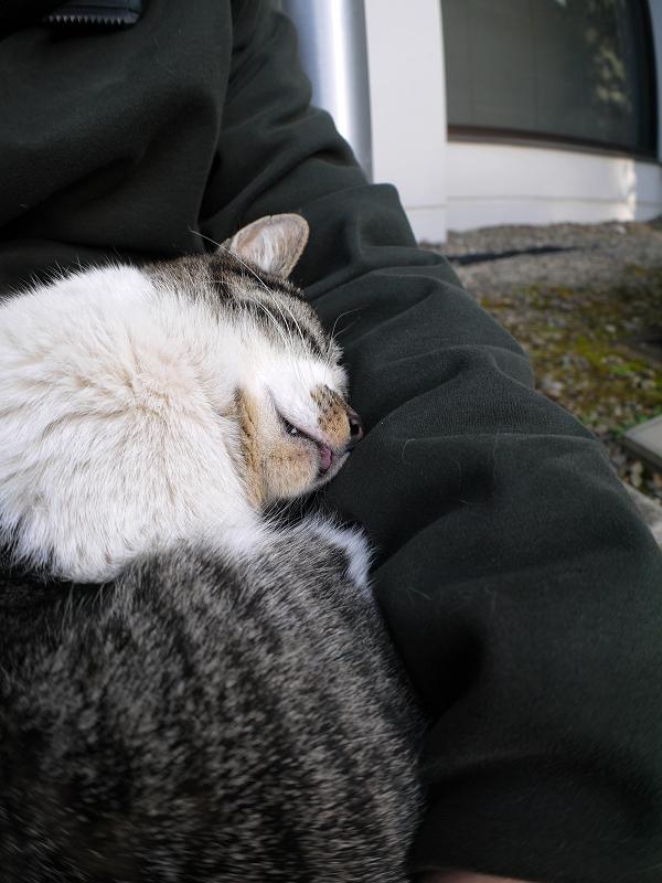 膝でアンモニャイトのキジ白猫1