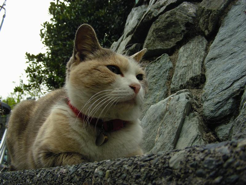 石垣の横で香箱三毛猫1