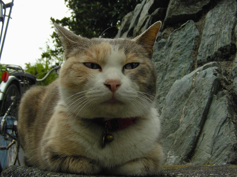 石垣の横で香箱三毛猫2
