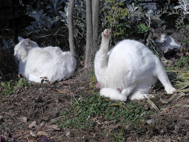 白猫の毛繕い1