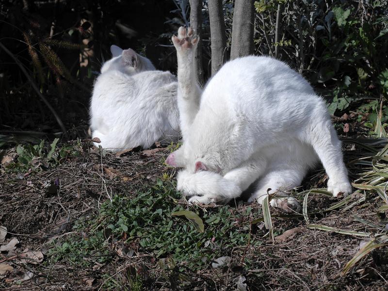 白猫の毛繕い2