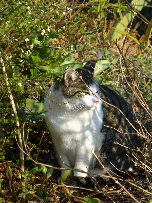 茂みで起き上がったキジ白猫1
