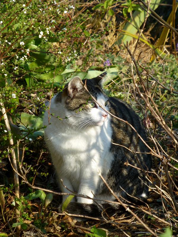 茂みで起き上がったキジ白猫2