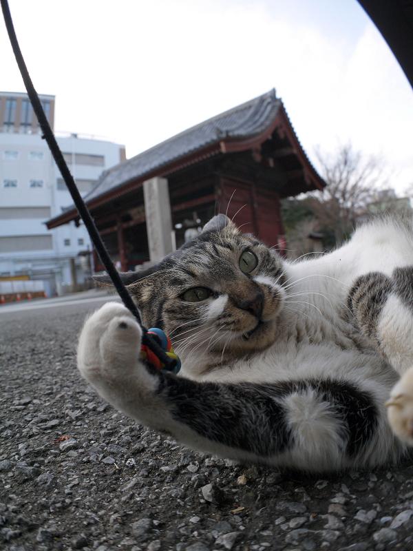 オモチャに無我夢中のキジ白猫2