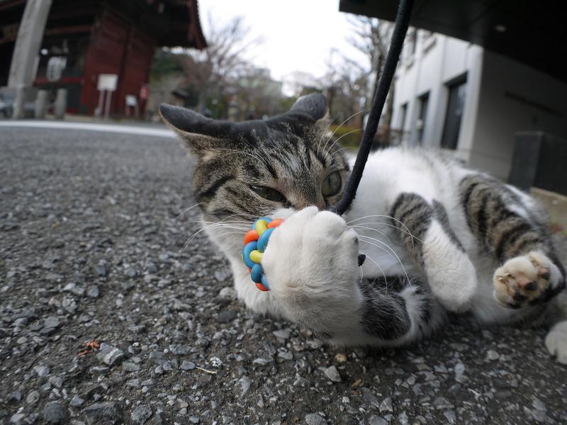 オモチャに無我夢中のキジ白猫3