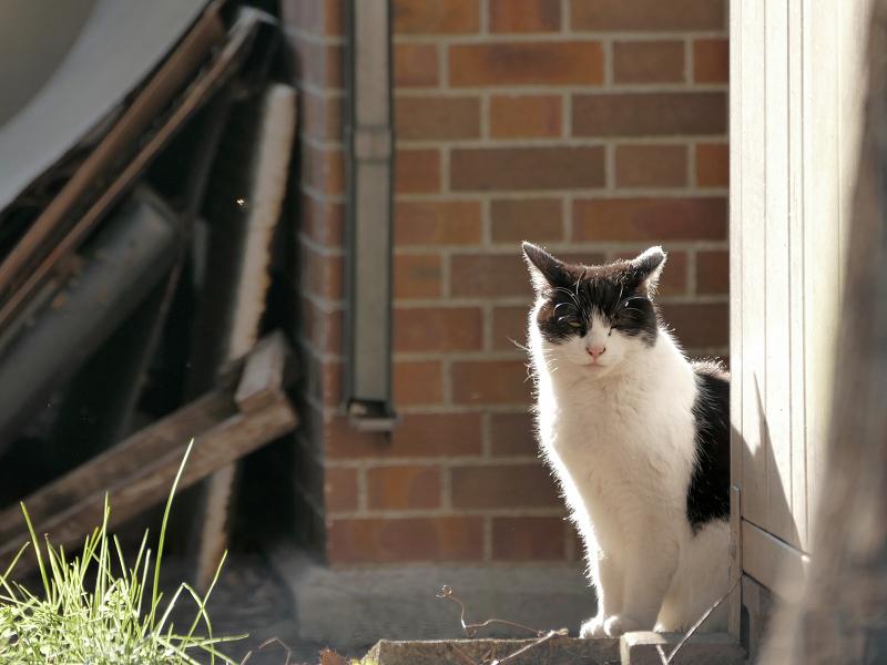 陽だまりで毛づくろいの黒白猫1