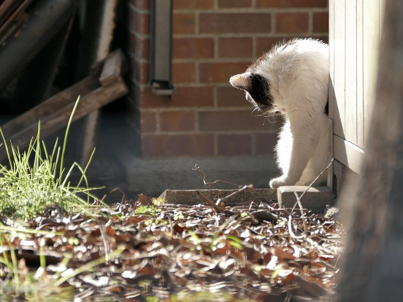 陽だまりで毛づくろいの黒白猫2