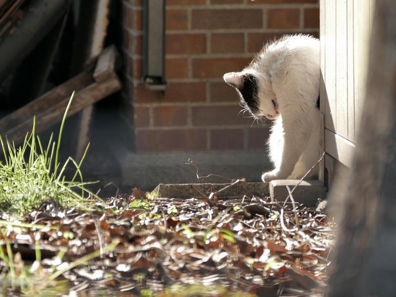 陽だまりで毛づくろいの黒白猫3